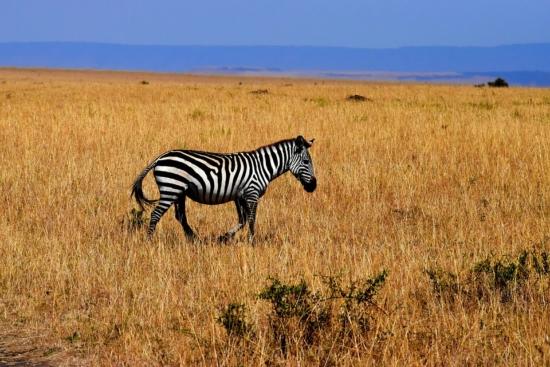 2 tygodnie w Tanzanii za 3815 PLN. Safari, Kilimandżaro i Zanzibar. Loty, 3* hotele ze śniadaniami & transfery